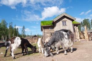 Lindvallens Fäbod, levande fäbod, café, ponnyridning, aktiviteter för barn, Lindvallen