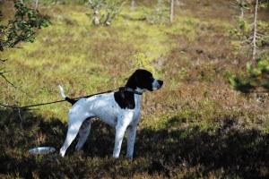 Jonas i Sälen, Gattar, jaga i Sälen, jakt, Jonas Hunting, fågelhund, fågelhundkurs, Sälenfjällen, Scandinavian Mountains