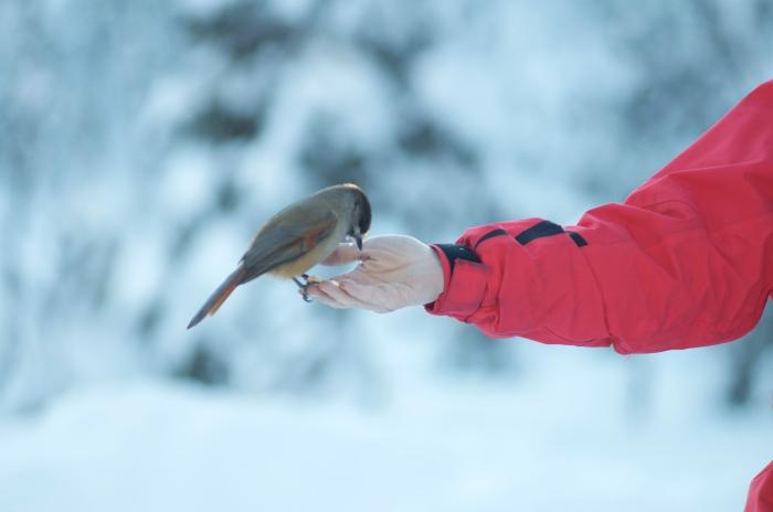 Lavskrika, Perisoreus infaustus, är en liten kråkfågel ganska tystlåten fågel. Lavskrikan är nyfiken och orädd för människor. När vi slår två vedträn mot varandra ute vid Lindalens Fäbod kommer den för att äta direkt ur handen. Gissa om Lavskrikan gillar våfflor? Lavskrikan förknippas främst med de nordliga barrskogarna i Sverige. Den är tillbakadragen under häckningstiden och bygger sitt bo lågt i en gran eller tall. Honan lägger 3-4 ägg i april och äggen är gröna med bruna fläckar. Ungarna håller ihop länge med föräldrarna. Lavskrikan hamstrar insekter, frön och bär för vinterbehovet. Maten göms i barkspringor, bland barr och i lavtussar som det finns gott om ute i Lindalen. Lavskrikan minns exakt var dessa gömmor är. Lavskrikan är en stannfågel som inte flyttar söderut på vintern - och varför skulle den? Lavskrikan har ju smart nog chekat in på Lindalens Fäbod!