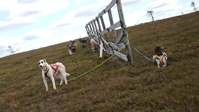 Sälen Dog Adventure Hike, vandra med hund, hotell olarsgården, husdjur tillåtet, Sälen Hund och aktivitet, draghundar, hundspann, Jonas i Sälen Game Fair, outdoor summer market, hundar, hund sälen,
